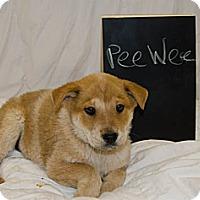 Adopt A Pet :: PeeWee - Westminster, CO
