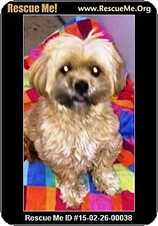 Shih Tzu Dog for adoption in Murrieta, California - Jewel