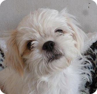 Shih Tzu Mix Dog for adoption in Las Cruces, New Mexico - Bella