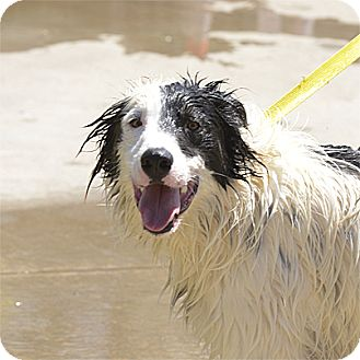 Border Collie Mix Dog for adoption in Stillwater, Oklahoma - Oliver