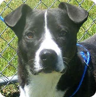 Labrador Retriever Mix Dog for adoption in Olive Branch, Mississippi - Rudy