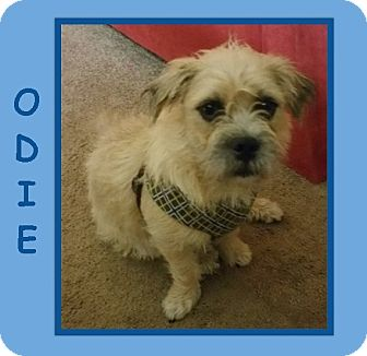 Westie, West Highland White Terrier/Terrier (Unknown Type, Small) Mix Puppy for adoption in Dallas, North Carolina - ODIE