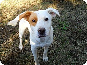 Labrador Retriever/Golden Retriever Mix Dog for adoption in Salem, New Hampshire - LANISTER