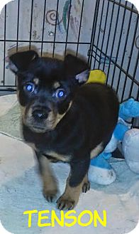 Chihuahua/Terrier (Unknown Type, Small) Mix Puppy for adoption in House Springs, Missouri - Tenson