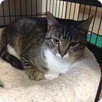 Adopt A Pet :: Mittens - Portland, ME