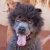 Chow Chow Mix Dog for adoption in Las Vegas, Nevada - Malachi