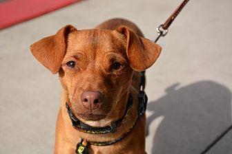 Chihuahua/Dachshund Mix Dog for adoption in Phoenix, Arizona - Justice