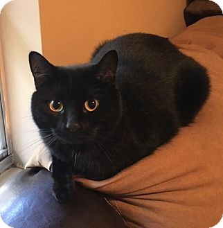 Domestic Shorthair Cat for adoption in Chattanooga, Tennessee - Bitty