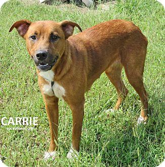 Australian Shepherd Mix Dog for adoption in Elizabeth City, North Carolina - Carrie