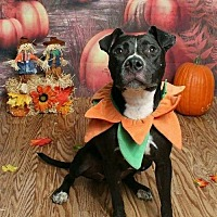 American Staffordshire Terrier Mix Dog for adoption in Kenner, Louisiana - Rosalie