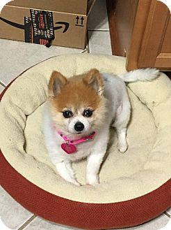 Pomeranian Mix Dog for adoption in Troy, Michigan - Lilly