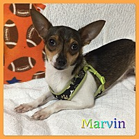 Chihuahua Mix Puppy for adoption in Hollywood, Florida - Marvin
