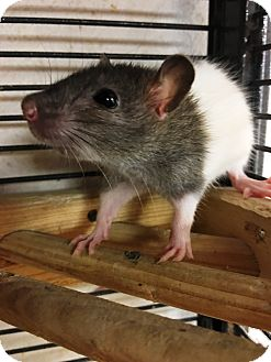 Rat for adoption in Edinburg, Pennsylvania - Dawn, Taylor, and GG