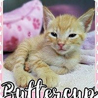 Adopt A Pet :: Buttercup - Edwards AFB, CA