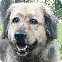 Adopt A Pet :: Banjo-GREAT dog - Capon Bridge, WV