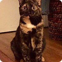 Domestic Shorthair Cat for adoption in charlottesville, Virginia - Lucy