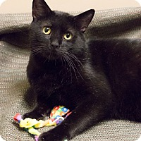 Domestic Shorthair Cat for adoption in Chicago, Illinois - Timmy