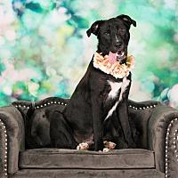 Adopt A Pet :: Aggie - Seattle, WA