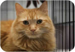 Domestic Longhair Cat for adoption in Houston, Texas - Constance