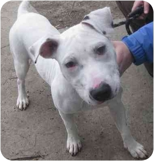Bull Terrier/American Bulldog Mix Puppy for adoption in Reisterstown, Maryland - Amshire