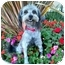 Photo 2 - Lhasa Apso/Poodle (Miniature) Mix Dog for adoption in Los Angeles, California - QUENTIN