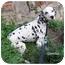 Photo 4 - Dalmatian Dog for adoption in Mandeville Canyon, California - Gemma