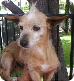 Terrier (Unknown Type, Small) Mix Dog for adoption in Poway, California - TINA