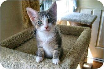 Domestic Shorthair Kitten for adoption in Colmar, Pennsylvania - Kismet
