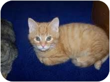 Domestic Shorthair Kitten for adoption in Okotoks, Alberta - Pumpkin