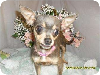 Chihuahua Dog for adoption in Chandlersville, Ohio - Piper