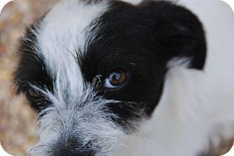 Bichon Frise/Chihuahua Mix Puppy for adoption in Philadelphia, Pennsylvania - Moo moo