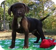 Labrador Retriever/American Staffordshire Terrier Mix Puppy for adoption in Portland, Maine - Hershey