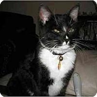 Adopt A Pet :: Fatcat - Washington Terrace, UT