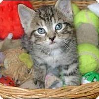 Adopt A Pet :: tabby boy - Etobicoke, ON