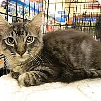 Adopt A Pet :: Sven - The Colony, TX