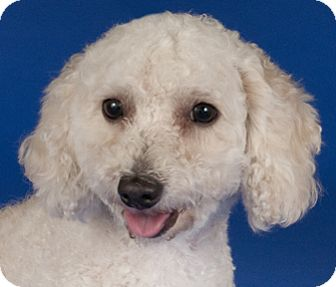 Miniature Poodle Dog for adoption in Chicago, Illinois - Wesley
