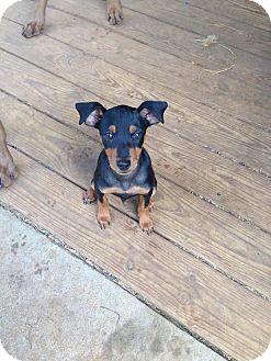 German Pinscher Mix Puppy for adoption in killeen, Texas - Duke