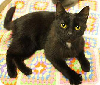 Domestic Shorthair Cat for adoption in Huntingdon, Pennsylvania - Robbie