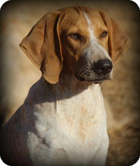 Redtick Coonhound Puppy for adoption in Greenville, South Carolina - Victor