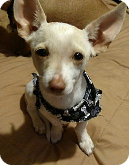 Chihuahua Mix Dog for adoption in San Diego, California - Lucky Lindy