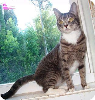 Domestic Mediumhair Cat for adoption in Port St. Joe, Florida - LALO