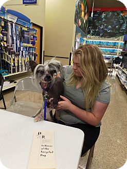 Chinese Crested Dog for adoption in Paris, Illinois - Harley