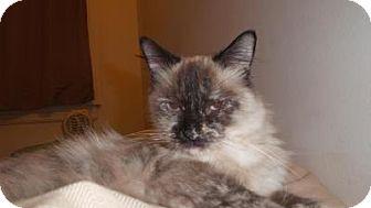 Siamese Cat for adoption in Chicago, Illinois - Patti