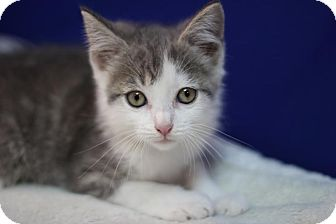 Domestic Shorthair Kitten for adoption in Midland, Michigan - Chart - 1/2 OFF