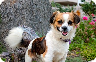 Spaniel (Unknown Type) Mix Dog for adoption in Los Angeles, California - Buster Brown