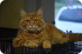 Domestic Mediumhair Cat for adoption in Lebanon, Missouri - Kitty Kitty