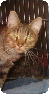 Oriental Cat for adoption in Huntingdon, Pennsylvania - Katrina