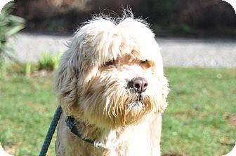 Lhasa Apso/Poodle (Miniature) Mix Dog for adoption in Tumwater, Washington - Alice