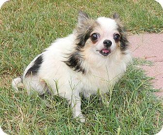 Chihuahua Dog for adoption in Umatilla, Florida - Jeff