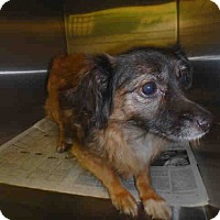 Adopt A Pet :: Corgi Spaniel Mix - Lomita, CA